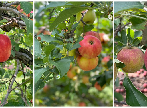 Thierbach Farms - Marthasville, Missouri - Apple Picking family fun!