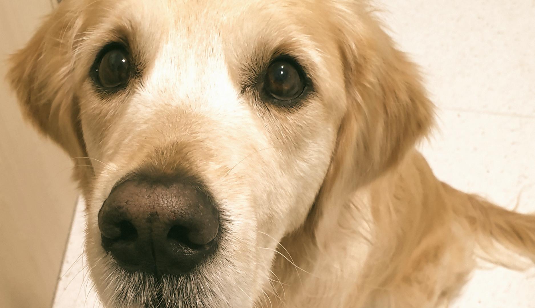 Labrador Vogue Vets Wellness.jpg