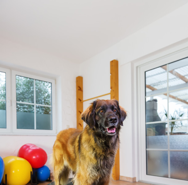 Dog Physio Perth having rehab therapy