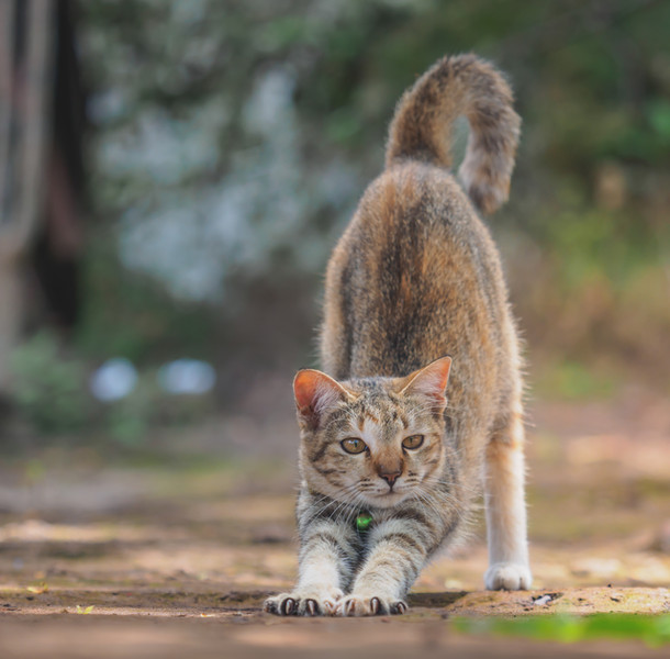 Cat stretching. Yoga cat.jpg