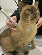 Feline Laser Therapy.JPG