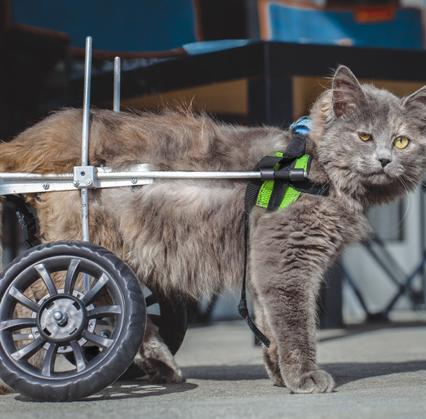 disabled (paralyzed) cat with wheelchair