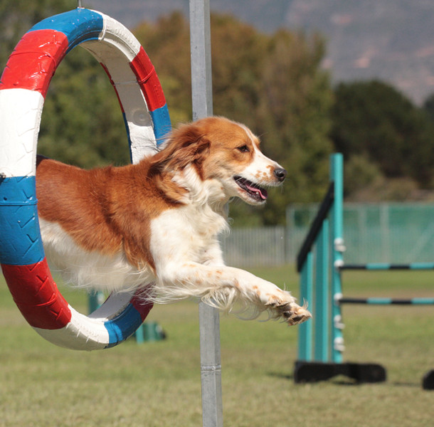 Dog Agility, Dog Fitness, Perth