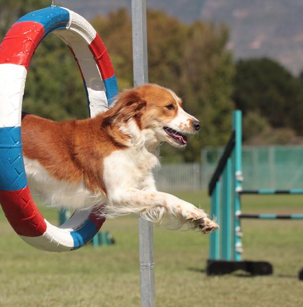Dog Agility kooikerhondjie.jpg