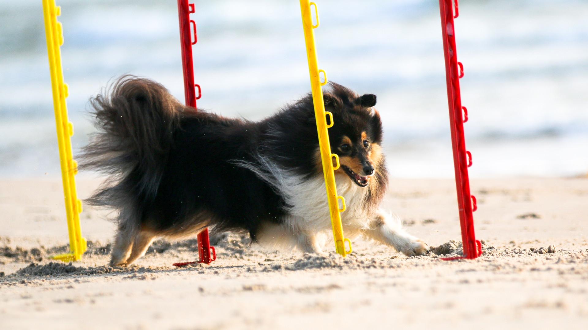 Fast tricolor shetland sheepdog, sheltie