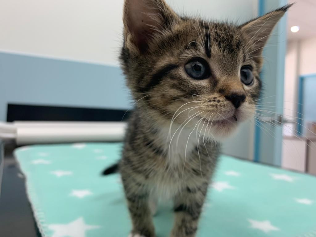 Kitten Consults Vogue Vets & Wellness Ce