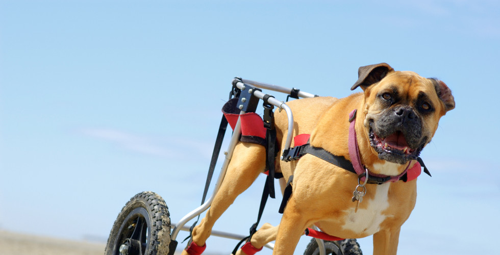 Dog Wheelchair- Animal Physio Perth