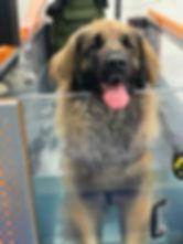 Leonberger Hydrotherapy.jpg