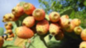 chile_cactus_prickly_pear.jpg