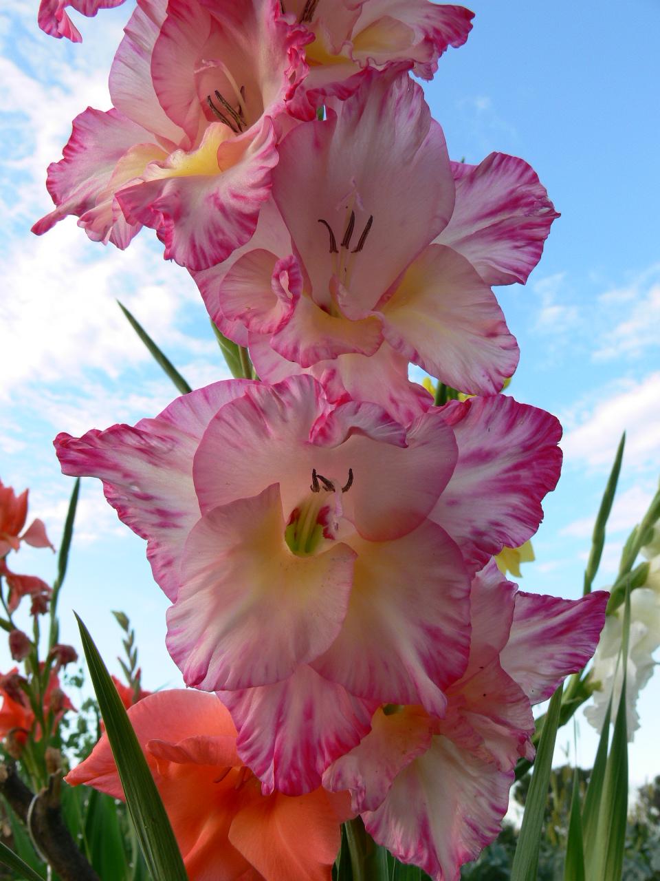 """Gladiolus (L,=""""little sword"""")."""