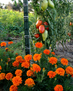 Marigolds and tomatoes.