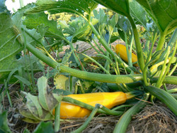 Yellow zucchini squash.