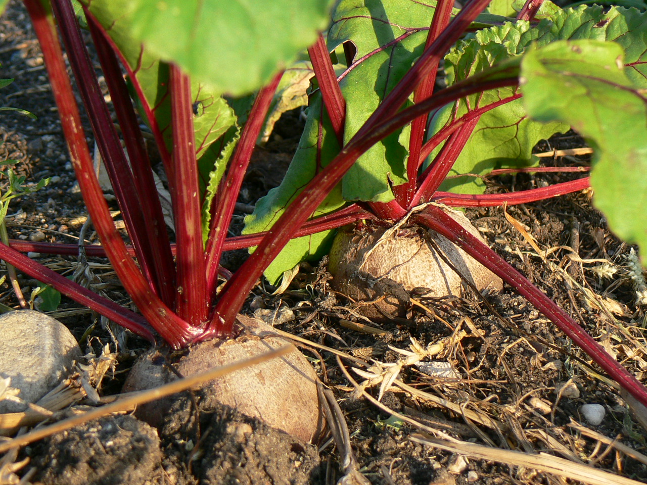 Sweet Red Beets (Beta vulgaris)