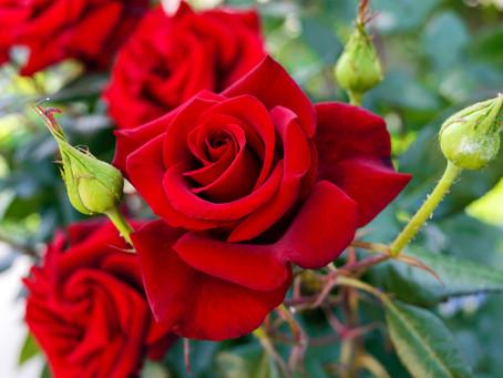 浪漫玫瑰的故事
