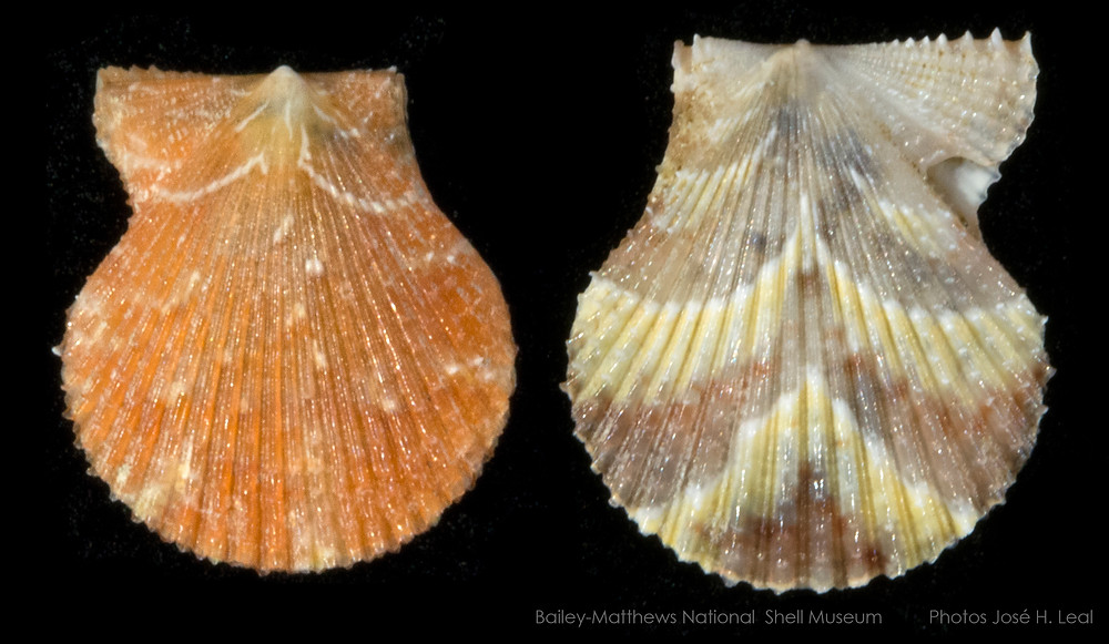 The Yellow-spot Scallop. Spathochlamys benedicti, from offshore Sanibel Island. Photo by José H. Leal.