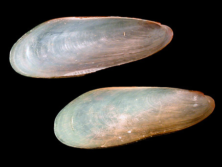The Polished Paper Mussel