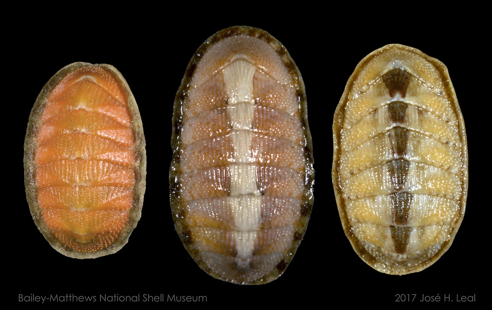Eastern Beaded Chitons from Captiva Island. Photo by José H. Leal.