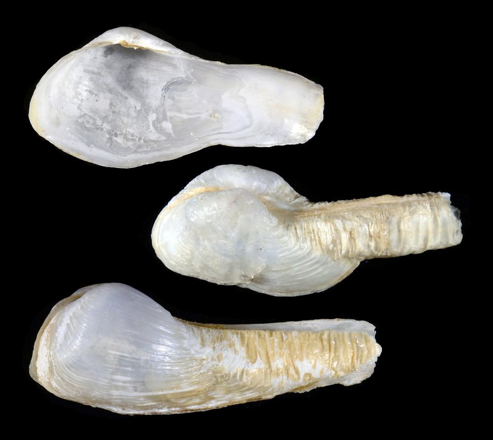 The Antillean Sphenia, Sphenia fragilis, from Sanibel