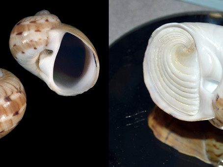 The Colorful Moon Snail
