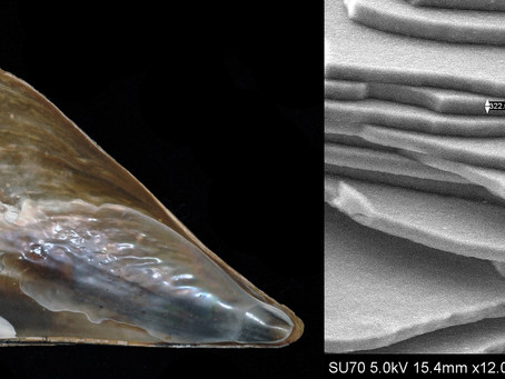 The Stiff Pen Shell and its Nacre