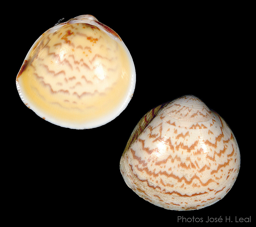 The Yellow Egg Cockle, Laevicardium mortoni, from Sanibel. Photos by José H. Leal.