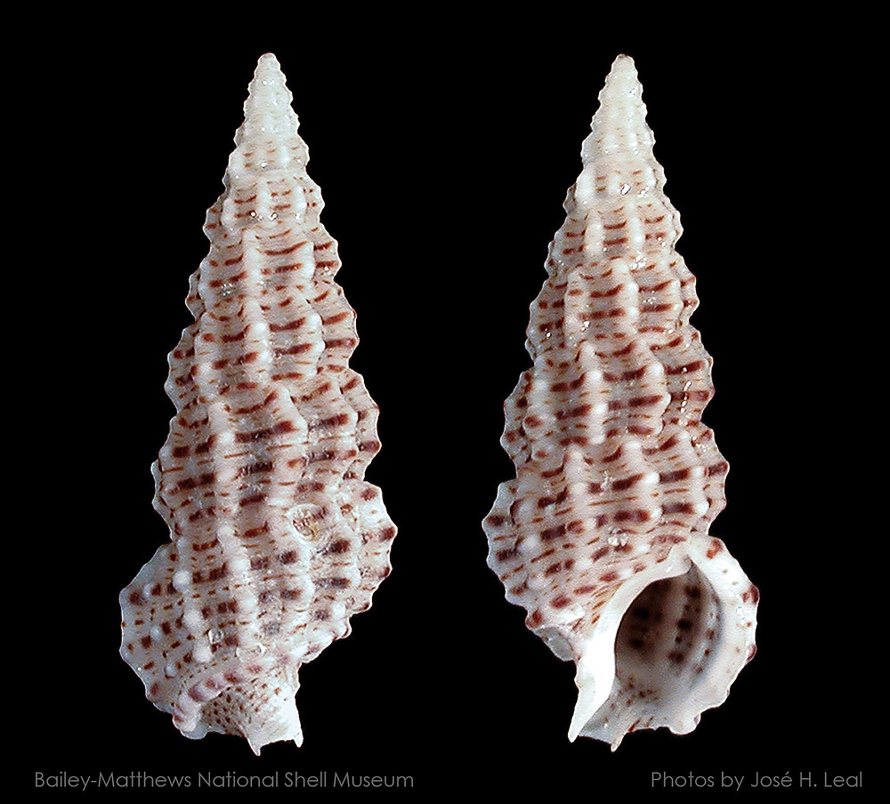 The Fly Speck Cerith, Cerithium muscarum, from Sanibel. Photo by José H. Leal.