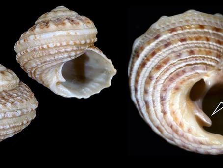 The Button Snail
