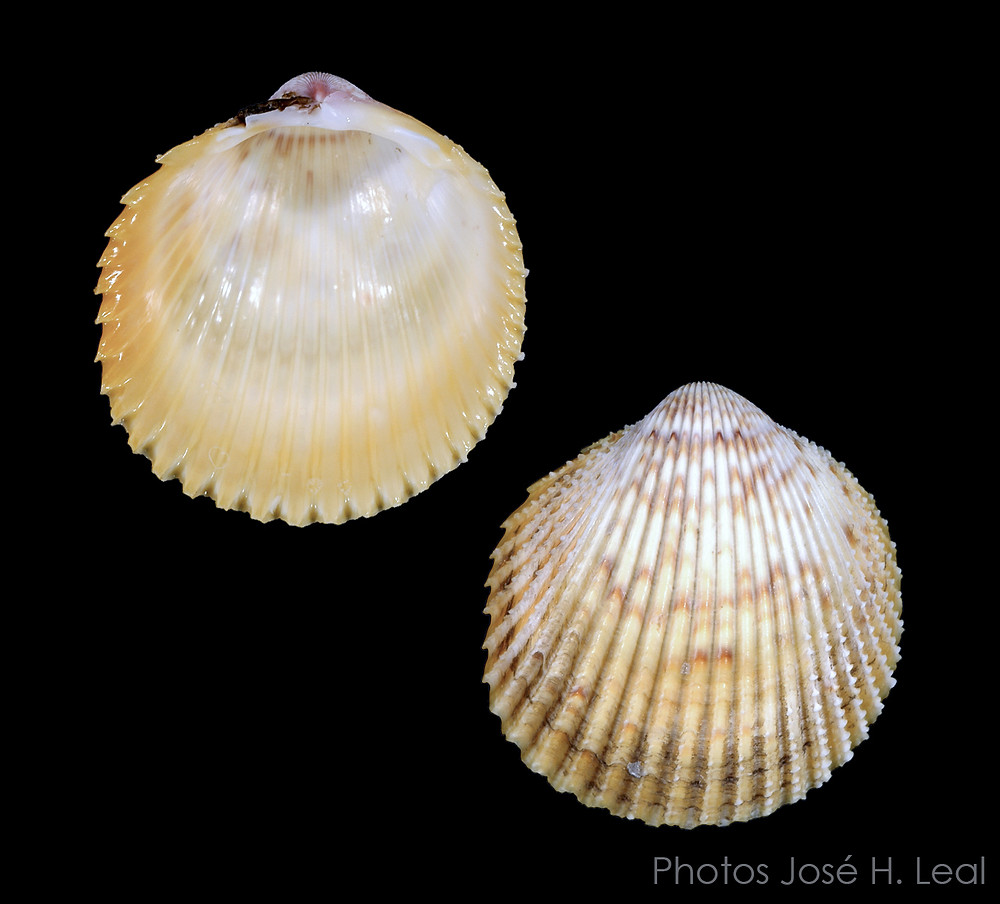 The Yellow Prickly Cockle, Dallocardia muricata, from Sanibel. Photos by José H. Leal.