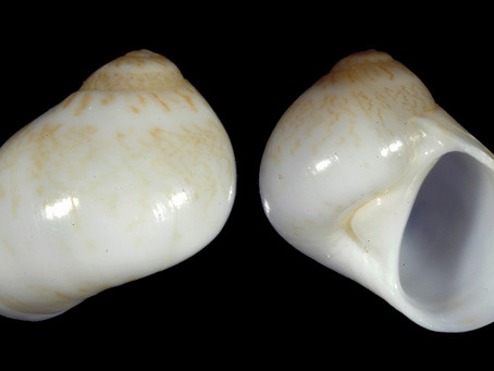 The Miniature Moon Snail