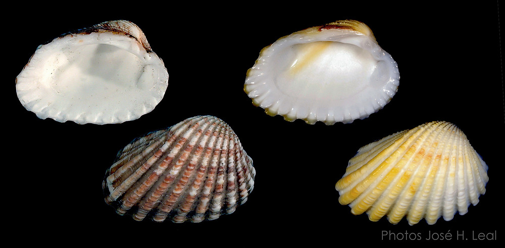 The Broad-Ribbed Carditid, Cardites floridanus, from Sanibel; rare yellowish form on right. Photo by José H. Leal.