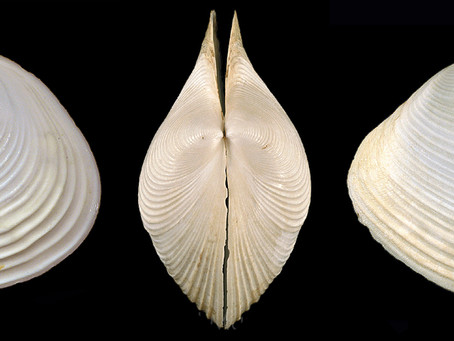 The Channeled Duck Clam