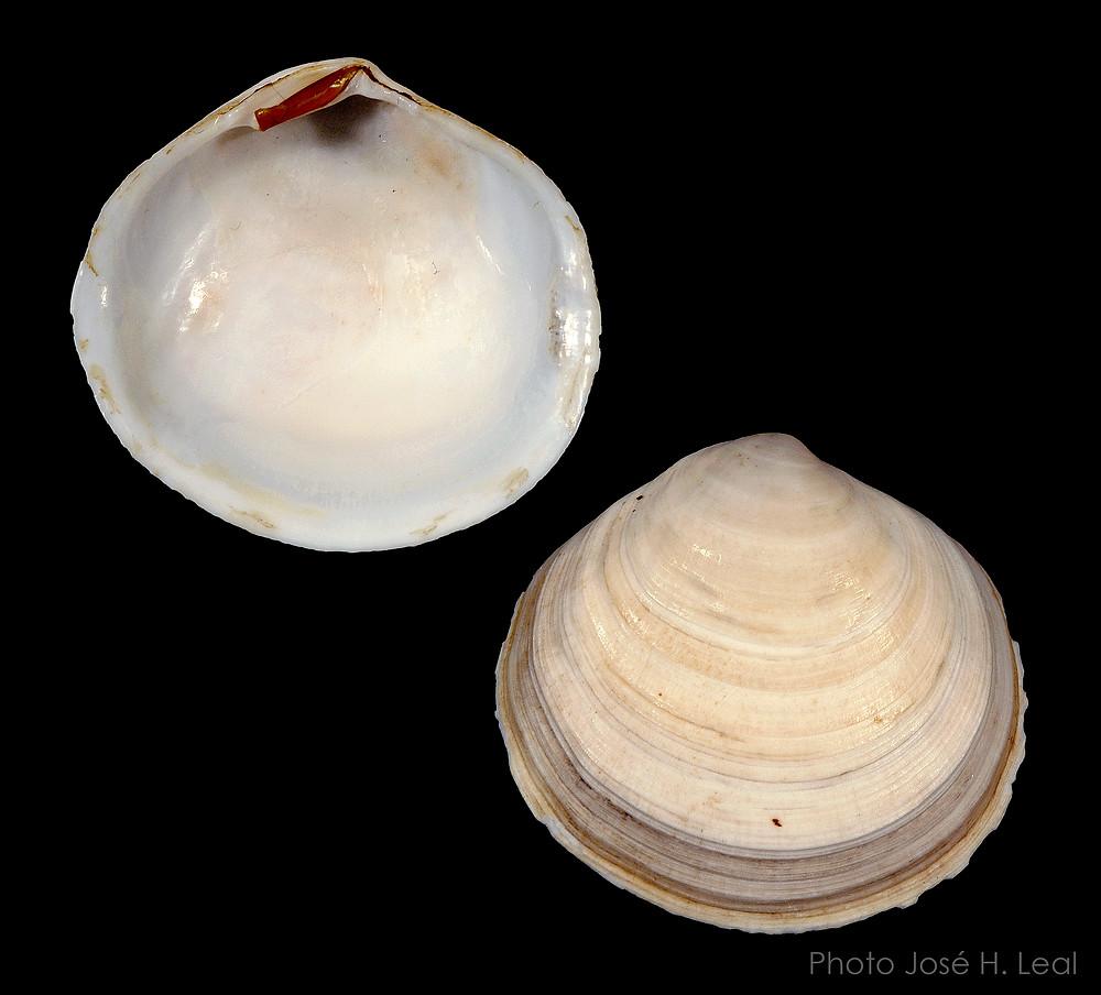 The Atlantic Semele, Semele proficua, from Sanibel. Photo by José  H. Leal.