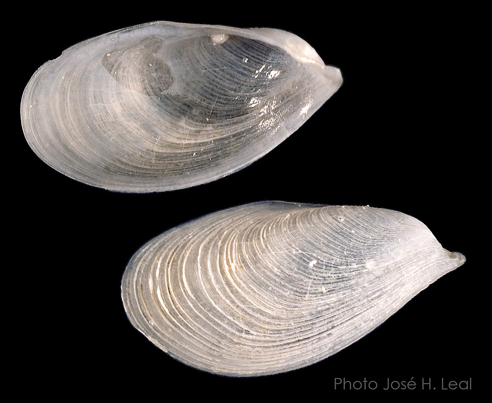 The Winged Chimney Clam, Gastrochaena difficilis, from Sanibel. Photo by José H. Leal.
