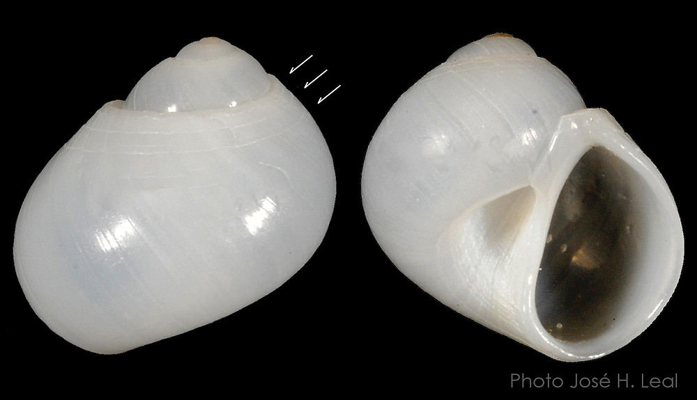 The Semisulcate Moon Snail, Sigatica semisulcata, from Sanibel; arrows show characteristic spiral lines. Photo by José H. Leal.