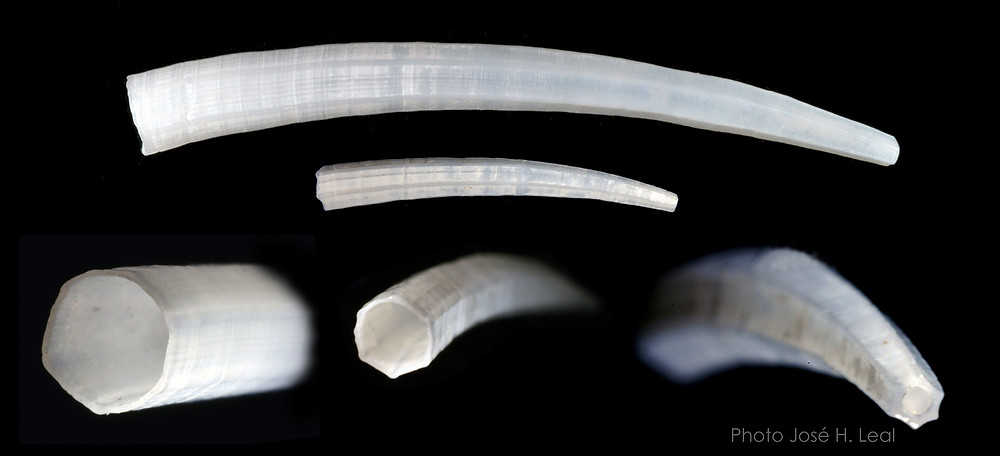 The American Tusk Shell, Paradentalium americanum, from Sanibel. A juvenile shell is represented in the central image. Photo by José H. Leal.