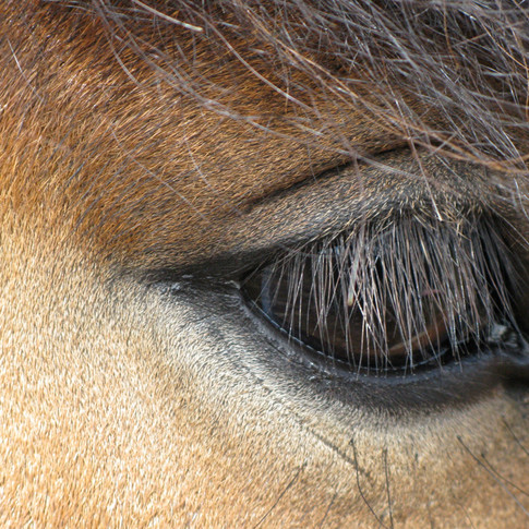 Horse Eye 6