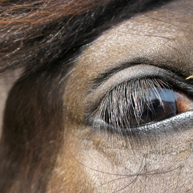 Horse Eye 2