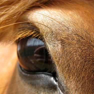 Iceland  |  Horse Eyes