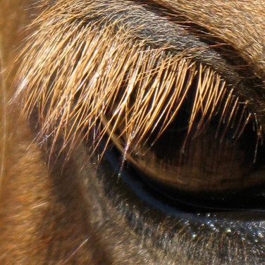 Horse Eye 10