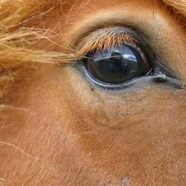 Horse Eye 8