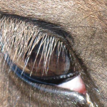 Horse Eye 5