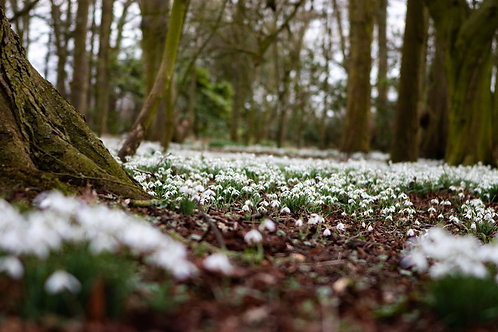Magical Snowdrops