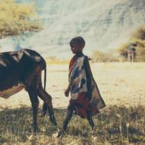 A Massai child and his cow near Maasai Giraffe Eco Lodge - Tanzania - lake Natron