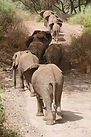 safari, elephant, Natron