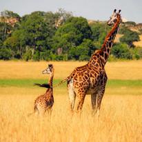 Giraffes around the Maasai Giraffe Eco Lodge in Tanzania
