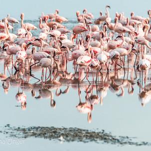 Flamingos on the Lake Natron near Maasai Giraffe Eco Lodge in Tanzania