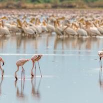 Flamingos on the Lake Natron, near the Maasai Giraffe Eco Lodge in Tanzania