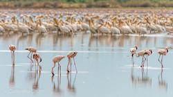Flamingos near Maasai Giraffe Eco Lodge, Lake Natron, Tanzania