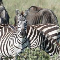 Zebras around the Maasai Giraffe Eco Lodge