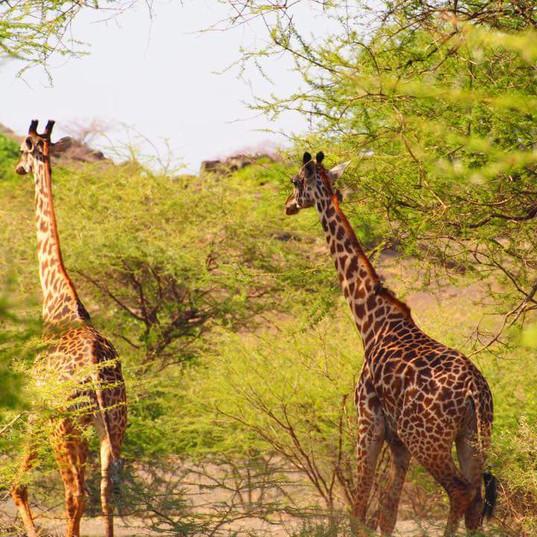 Giraffe Tanzania, Lake Natron, Tanzania, Maasai Giraffe Eco Lodge
